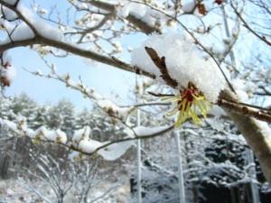 雪をかぶったマンサクの花
